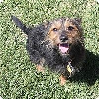 Adopt A Pet :: Thomas - Henderson, NV