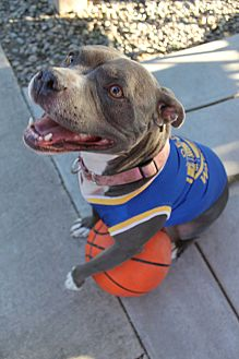 American Pit Bull Terrier Mix Dog for adoption in Tracy, California - Nicole