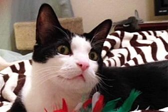 Domestic Shorthair Cat for adoption in Ventura, California - Billie