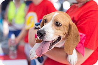 Beagle Dog for adoption in Washington, D.C. - Wesley