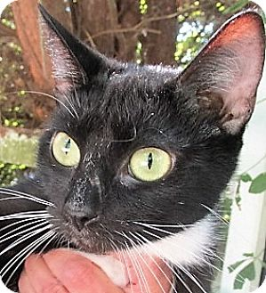 Domestic Shorthair Cat for adoption in Germantown, Maryland - Jingles