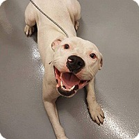 Pit Bull Terrier Dog for adoption in Mission, Kansas - Jack Be Nimble