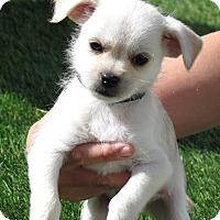 Adopt A Pet :: Simon - House Springs, MO
