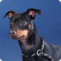 Miniature Pinscher Dog for adoption in Sudbury, Massachusetts - Oliver