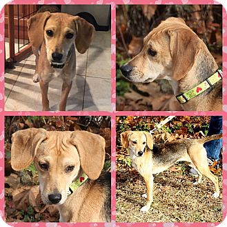 Beagle Mix Puppy for adoption in Oxford, Connecticut - Betsy