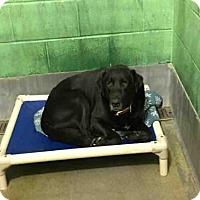 Adopt A Pet :: GUCCI - Upper Marlboro, MD