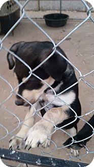 Australian Shepherd/Miniature Pinscher Mix Puppy for adoption in Austin, Texas - Sonny