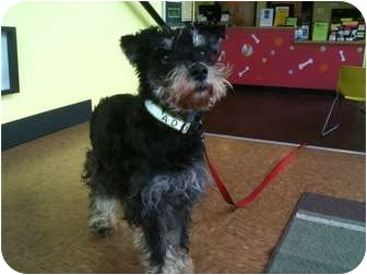 Miniature Schnauzer Dog for adoption in Portland, Oregon - Dusty