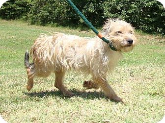wheaten terrier rescue colorado yancey pending adopted dog boulder co wheaten 1609