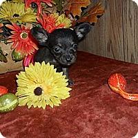 Adopt A Pet :: Teeny Chi-weenie - Chandlersville, OH