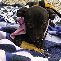 Adopt A Pet :: Samantha sweety - Sacramento, CA
