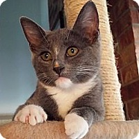 Adopt A Pet :: Sheba - Edmond, OK