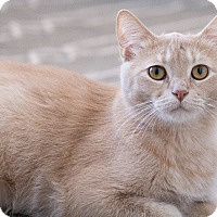 Domestic Shorthair Kitten for adoption in Chicago, Illinois - Sven