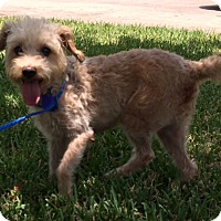 Adopt A Pet :: Laurie - San Antonio, TX