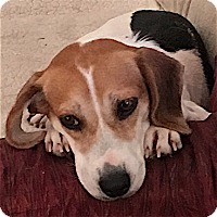 Adopt A Pet :: Fiona - Houston, TX