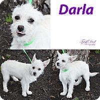 Adopt A Pet :: Darla - Trenton, NJ