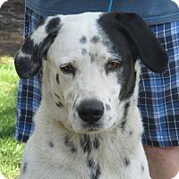 Dalmatian Dog for adoption in Turlock, California - Otis