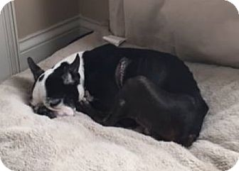 Boston Terrier Dog for adoption in Nashville, Tennessee - Thor