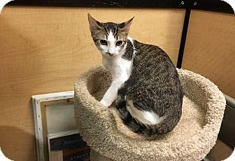 Domestic Shorthair Kitten for adoption in Riverside, California - Freckles