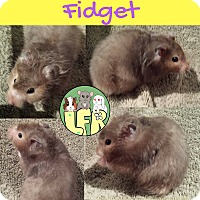 Hamster for adoption in Welland, Ontario - Fidget
