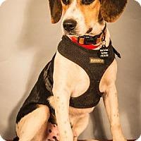 Adopt A Pet :: Beau - Berkeley Heights, NJ