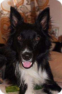 Border Collie Dog for adoption in Richmond, Virginia - Bruno