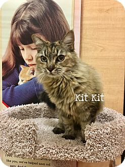 Himalayan Cat for adoption in Foothill Ranch, California - Kit Kit