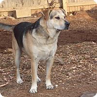 Adopt A Pet :: Samson - Albany, NY