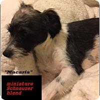 Adopt A Pet :: Macaria - El Cajon, CA