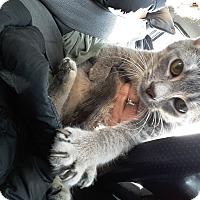 Domestic Shorthair Kitten for adoption in Hainesville, Illinois - Crumpet