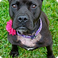 Pit Bull Terrier Mix Dog for adoption in Kingwood, Texas - Harriet