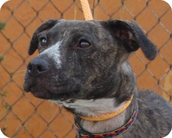 Pit Bull Terrier Dog for adoption in Brooklyn, New York - Kinga