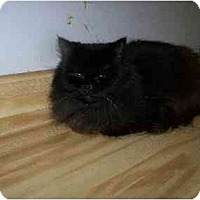 Persian Cat for adoption in Chattanooga, Tennessee - Molly