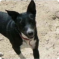 Border Collie/Australian Cattle Dog Mix Dog for adoption in Thatcher, Arizona - Mia