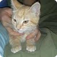Domestic Mediumhair Cat for adoption in Mesa, Arizona - Stefani