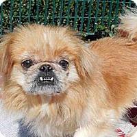 Adopt A Pet :: Peke 01 - Sacramento, CA