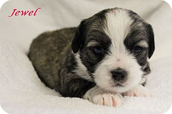 jewel adopted puppy plano tx cairn terriershih tzu mix