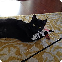 Domestic Shorthair Cat for adoption in Los Angeles, California - Cleo
