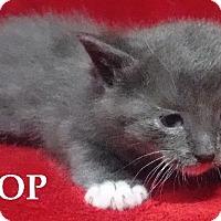Adopt A Pet :: Boop - Batesville, AR
