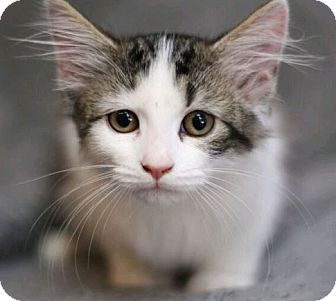Domestic Longhair Cat for adoption in Raleigh, North Carolina - Piglet