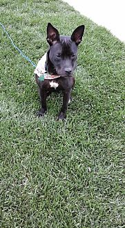 Pit Bull Terrier Mix Puppy for adoption in Manhattan, Kansas - Cinder