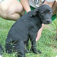 Pit Bull Terrier/Hound (Unknown Type) Mix Puppy for adoption in Homewood, Alabama - Darla