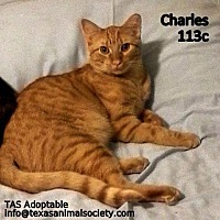 Domestic Shorthair Cat for adoption in Spring, Texas - Charles