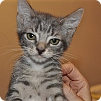 Adopt A Pet :: Kitten A - La Canada Flintridge, CA