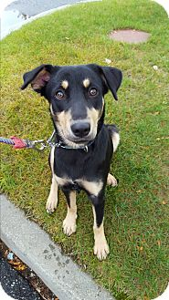 Black and Tan Coonhound/Hound (Unknown Type) Mix Dog for adoption in Shelburne Falls, Massachusetts - Millie in New England