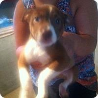 American Pit Bull Terrier Puppy for adoption in Vinemont, Alabama - Aubie