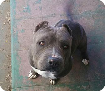 Pit Bull Terrier Dog for adoption in Mission Viejo, California - Tyson
