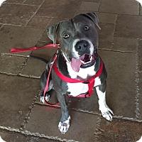 Adopt A Pet :: Fitz - Scottsdale, AZ