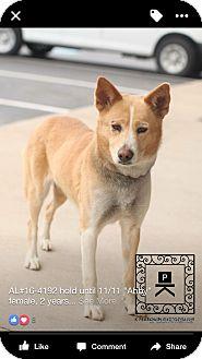 Akita Mix Dog for adoption in Staunton, Virginia - Abby