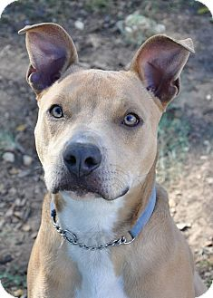 American Pit Bull Terrier/Labrador Retriever Mix Dog for adoption in Georgetown, Texas - Skipper